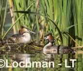Podiceps cristatus - Great Crested Grebe LLR-954 ©Jiri Lochman - Lochman LT