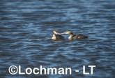 Podiceps cristatus - Great Crested Grebe LLS-468 ©Jiri Lochman - Lochman LT