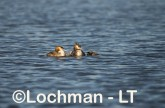 Podiceps cristatus - Great Crested Grebe LLS-470 ©Jiri Lochman - Lochman LT