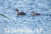 Podiceps cristatus - Great Crested Grebe LLS-474 ©Jiri Lochman - Lochman LT