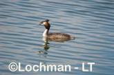 Podiceps cristatus - Great Crested Grebe LLS-477 ©Jiri Lochman - Lochman LT