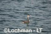Podiceps cristatus - Great Crested Grebe LLS-482 ©Jiri Lochman - Lochman LT