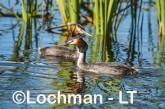 Podiceps cristatus - Great Crested Grebe LLS-483 ©Jiri Lochman - Lochman LT