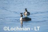 Podiceps cristatus - Great Crested Grebe LLS-484 ©Jiri Lochman - Lochman LT
