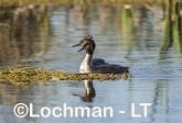 Podiceps cristatus - Great Crested Grebe LLS-485 ©Jiri Lochman - Lochman LT