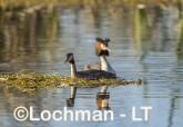 Podiceps cristatus - Great Crested Grebe LLS-486 ©Jiri Lochman - Lochman LT
