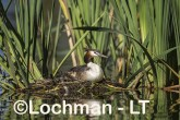 Podiceps cristatus - Great Crested Grebe LLS-492 ©Jiri Lochman - Lochman LT