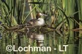 Podiceps cristatus - Great Crested Grebe LLS-493 ©Jiri Lochman - Lochman LT