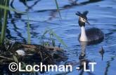Podiceps cristatus - Great Crested Grebe RRY-794 ©Jiri Lochman - Lochman LT