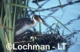 Podiceps cristatus - Great Crested Grebe RRY-797 ©Jiri Lochman - Lochman LT
