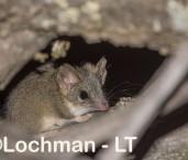 Red-tailed Phascogale LLS-539 ©Jiri Lochman - Lochman LT