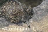 Short-beaked Echidna LLS-498 ©Jiri Lochman - Lochman LT