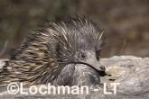 Short-beaked Echidna LLS-500 ©Jiri Lochman - Lochman LT