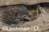 Short-beaked Echidna LLS-503 ©Jiri Lochman - Lochman LT