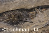 Short-beaked Echidna LLS-504 ©Jiri Lochman - Lochman LT