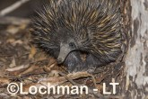Short-beaked Echidna LLS-506 ©Jiri Lochman - Lochman LT