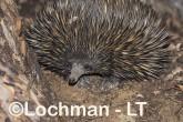 Short-beaked Echidna LLS-507 ©Jiri Lochman - Lochman LT