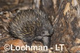 Short-beaked Echidna LLS-509 ©Jiri Lochman - Lochman LT