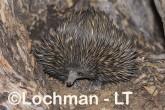 Short-beaked Echidna LLS-510 ©Jiri Lochman - Lochman LT