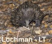 Short-beaked Echidna LLS-513 ©Jiri Lochman - Lochman LT