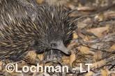 Short-beaked Echidna LLS-514 ©Jiri Lochman - Lochman LT