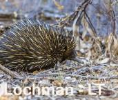 Short-beaked Echidna LLS-515 ©Jiri Lochman - Lochman LT