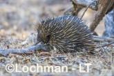 Short-beaked Echidna LLS-516 ©Jiri Lochman - Lochman LT
