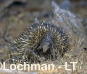 Short-beaked Echidna LLS-517 ©Jiri Lochman - Lochman LT