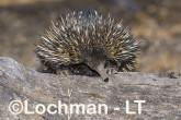 Short-beaked Echidna LLS-518 ©Jiri Lochman - Lochman LT