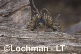 Short-beaked Echidna LLS-519 ©Jiri Lochman - Lochman LT