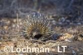 Short-beaked Echidna LLS-520 ©Jiri Lochman - Lochman LT