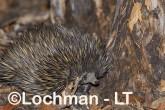 Short-beaked Echidna LLS-521 ©Jiri Lochman - Lochman LT