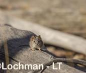 Yellow-footed Antechinus LLS-542 ©Jiri Lochman - Lochman LT