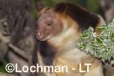 Goodfellow's Tree Kangaroo LLS-653  ©Jiri Lochman - Lochman LT