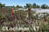 Anigozanthos manglesii Red and Green Kangaroo PAw  LLK-700  ©Jiri LochmanLT