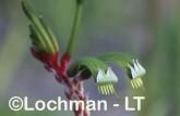 Anigozanthos manglesii Red and Green Kangaroo Paw AEY-114 ©Marie Lochman - Lochman LT