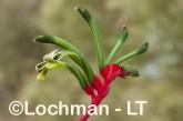 Anigozanthos manglesii Red and Green Kangaroo Paw AHD-643 ©Marie Lochman LT