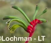 Anigozanthos manglesii Red and Green Kangaroo Paw AHD-645 ©Marie Lochman LT