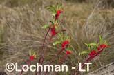Anigozanthos manglesii Red and Green Kangaroo Paw AHD-649 ©Marie Lochman LT