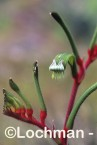 Anigozanthos manglesii Red and Green Kangaroo Paw FFY-418 ©MarieLochman- Lochman LT