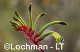 Anigozanthos manglesii Red and Green Kangaroo Paw LDY-451 ©Jiri Lochman - Lochman LT