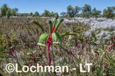 Anigozanthos manglesii Red and Green Kangaroo Paw LLS-783 ©Jiri Lochman LT