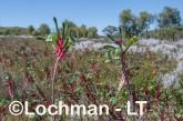 Anigozanthos manglesii Red and Green Kangaroo Paw LLS-784 ©Jiri Lochman LT