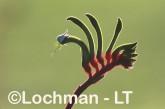 Anigozanthos manglesii Red and Green Kangaroo Paw ZPY-300 ©Jiri Lochman- Lochman LT