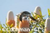 Anthochaera lunulata - Western Wattlebird LLK-613 ©Jiri Lochman - Lochman LT