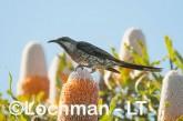 Anthochaera lunulata - Western Wattlebird LLK-614 ©Jiri Lochman - Lochman LT