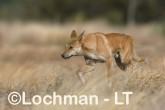 Canis dingo - Dingo CBD-948 ©Rob Drummond - Lochman LT