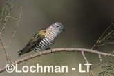 Chrysococcyx lucidus -Shining Bronze Cuckoo CBD-731 ©Rob Drummond -Lochman LT