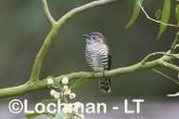 Chrysococcyx lucidus -Shining Bronze Cuckoo CBD-971 ©Rob Drummond -Lochman LT