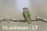 Chrysococcyx lucidus -Shining Bronze Cuckoo CBD-973 ©Rob Drummond -Lochman LT
